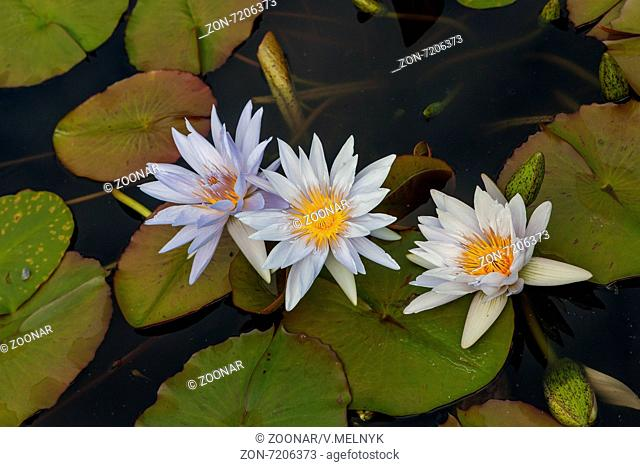 white lotus blossoms or water lily flowers