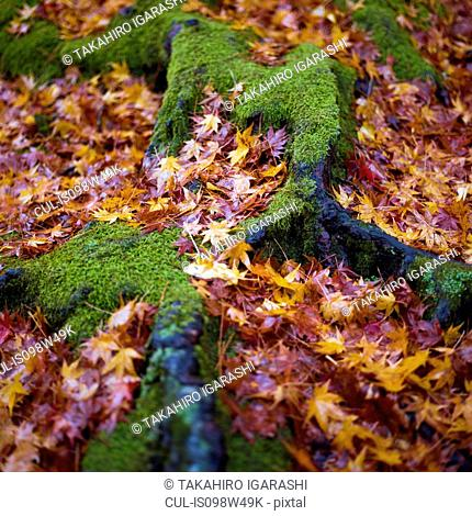 Autumn leaves and moss on tree roots