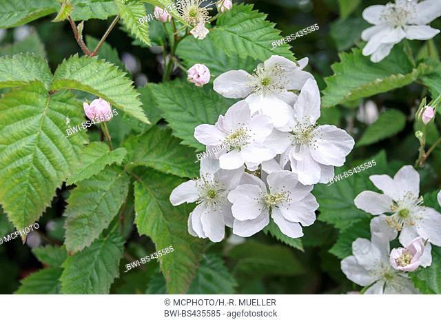 Arkansas blackberry (Rubus fruticosus 'Navaho', Rubus fruticosus Navaho), blooming, cultivar Navaho, Germany, Saxony
