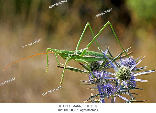 Predatory bush cricket, Predatory bush-cricket, Spiked Magician (Saga pedo), female on an Eryngium