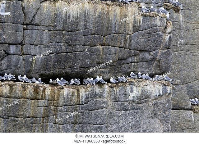 Black-legged Kittiwake colony in rocks. Svalbard, Spitsbergen, Norway