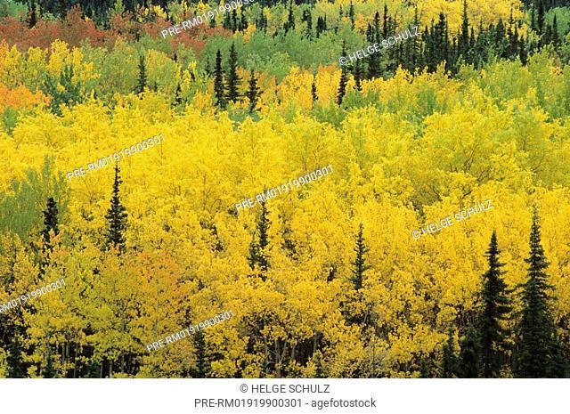 Quaking Aspen in fall