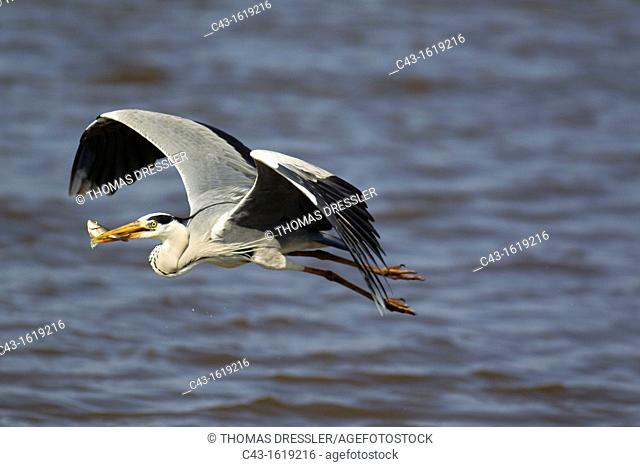 Grey Heron Ardea cinerea - The heron having just caught a fish, took to the air  Sunset Dam, Kruger National Park, South Africa