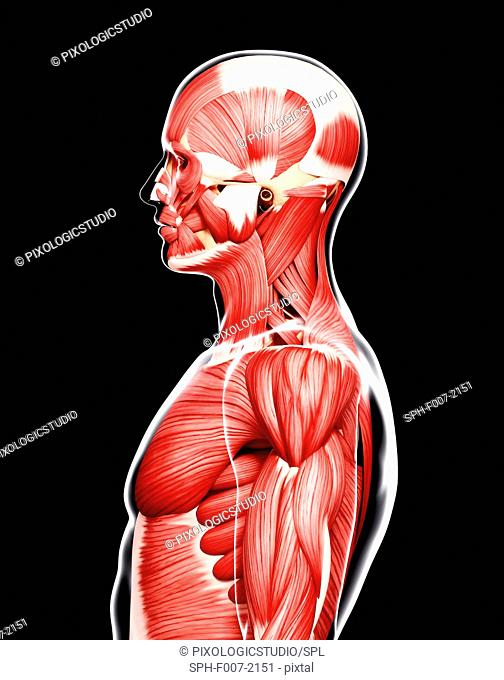 Human musculature, computer artwork