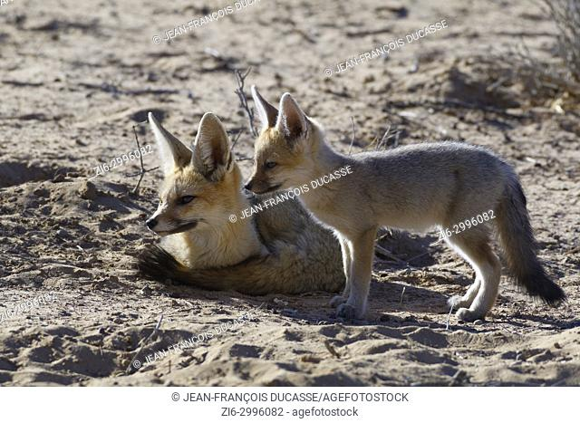 Cape foxes (Vulpes chama), mother and cub near the burrow, morning light, Kgalagadi Transfrontier Park, Northern Cape, South Africa, Africa