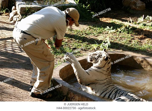 south africa , outdshoorn, game park, ranger with white tiger