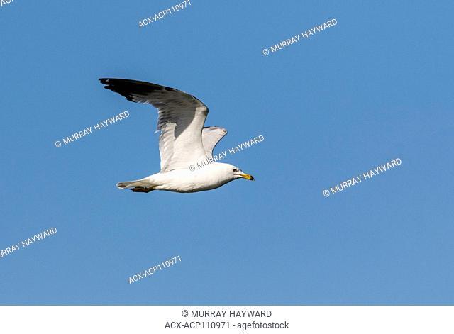 Ring-billed Gull (Larus delawarensis) Flying over Weed Lake, looking for food. Weed Lake, Alberta, Canada