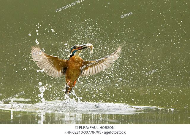Common Kingfisher (Alcedo atthis) adult male, in flight, emerging from water with fish in beak after dive, England, May