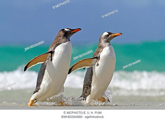 gentoo penguin (Pygoscelis papua), two penguins going on shore, Antarctica, Falkland Islands