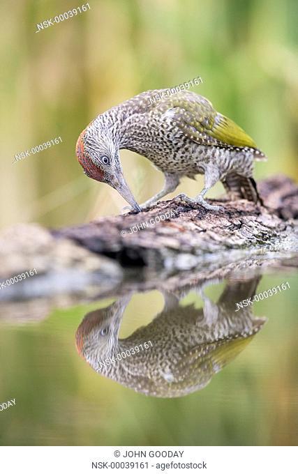 Juvenile European Green Woodpecker (Picus viridis) feeding on a fallen branch beside a pool, Hungary, Bekes, Koros-Maros National Park