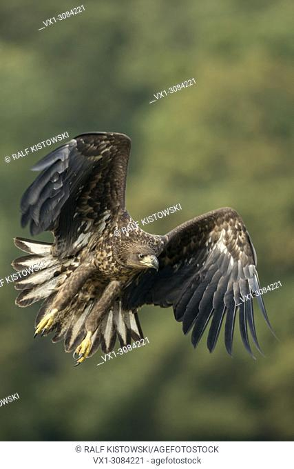 White-tailed Eagle / Sea Eagle ( Haliaeetus albicilla ) young adolescent in powerful flight, hunting along the edge of a forest, frontal side shot, wildlife