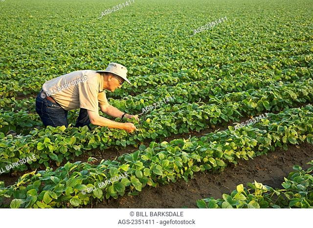Agriculture - A crop consultant inspects an early growth crop of twin row soybeans, with two rows per bed, in early morning light / near England, Arkansas, USA