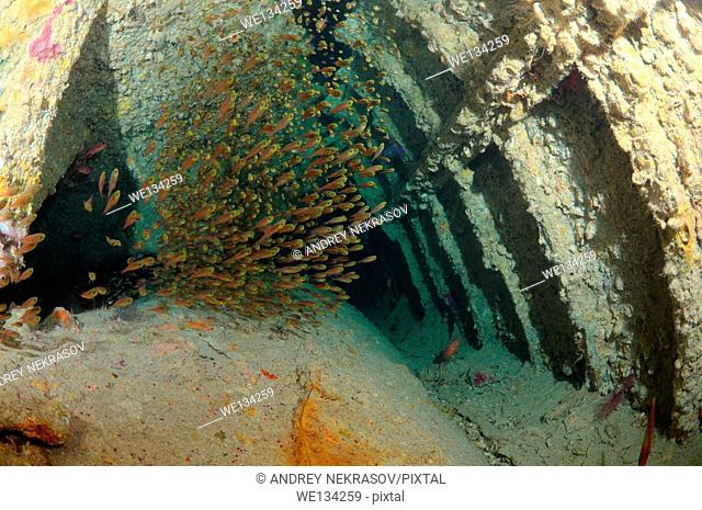 "Glassy Sweepers (Pempheris schomburgkii) on hold shipwreck """"SS Dunraven"""", Red Sea, Egypt, Red Sea, Egypt"