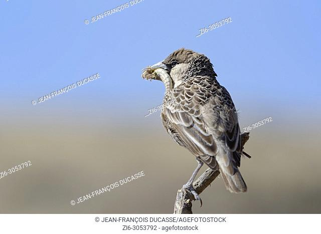 Sociable weaver (Philetairus socius geminus) sitting on a perch with prey in its beak, feeding, Etosha National Park, Namibia, Africa
