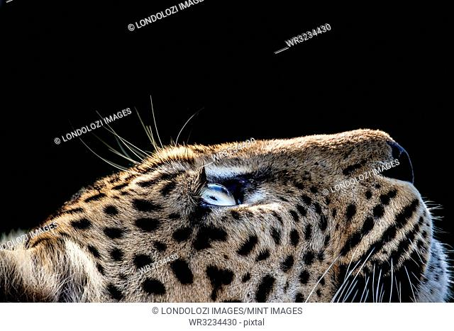 A side-profile of a leopard's head, Panthera pardus, looking up into the light, glow on eyes, coat and whiskers, black background