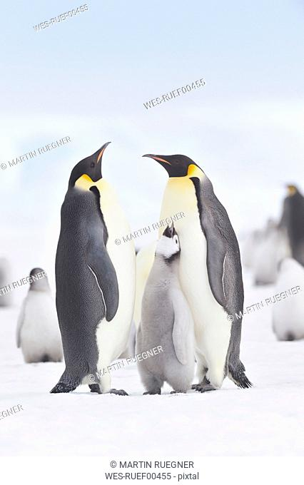 Antarctica, View of emperor penguins