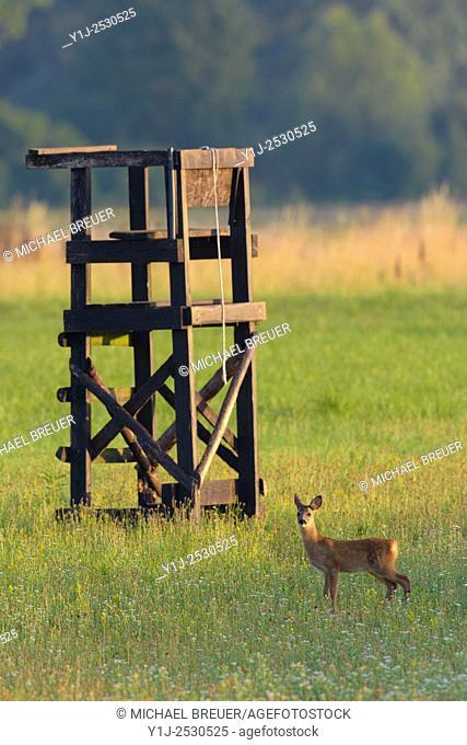 Western Roe deer (Capreolus capreolus) near Deerstand, Fawn, Hesse, Germany, Europe