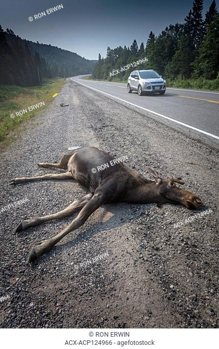 Dead bull Moose (Alces alces) on side of road in Algonquin Provincial Park, Ontario, Canada