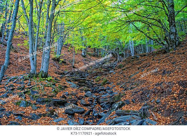 Tejera Negra Beechwood. Cantalojas. Sierra de Ayllon. Guadalajara province. Castilla-La Mancha. Spain