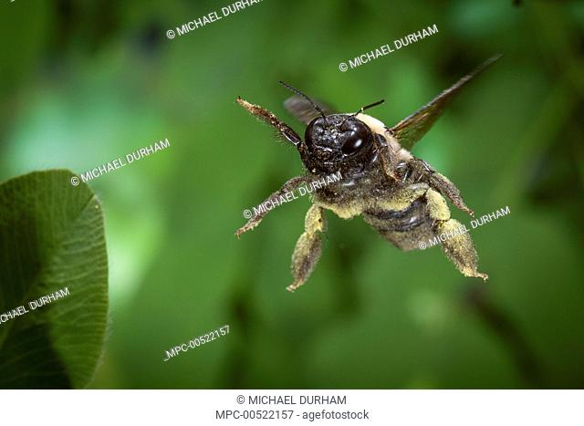 Carpenter Bee (Xylocopa virginica) flying covered in pollen, Cherokee National Forest, Tennessee