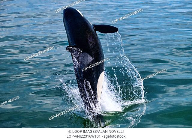 A Killer Whale or Orca breaching the water in the Straits of Georgia off Vancouver