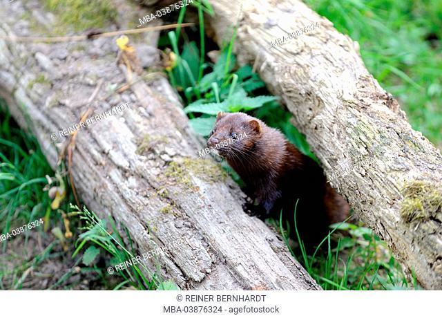 American mink, Mink