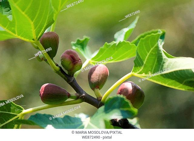Fig Fruits Ripening on a Tree  Ficus carica  July 2008