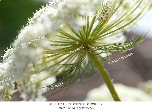A close up of a Queen Ann's Lace flower