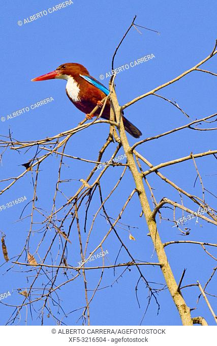 White-throated Kingfisher, Halcyon smyrnensis, Royal Bardia National Park, Bardiya National Park, Nepal, Asia