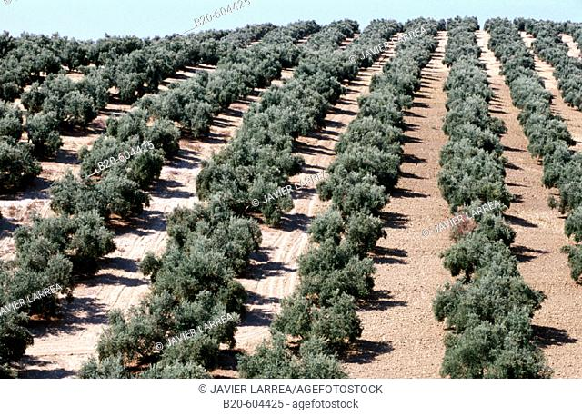 Olive trees. Andalusia. Spain