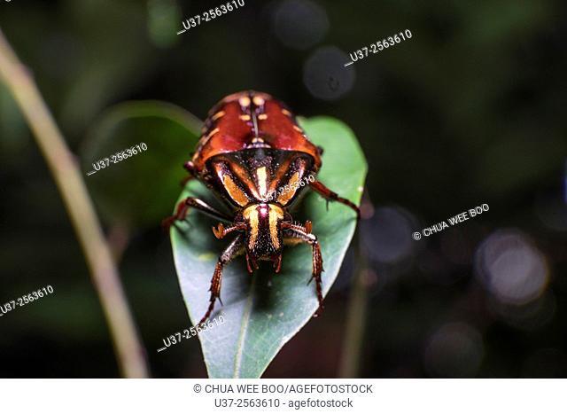 Beetle. Image taken at Stutong Forest Reserve Park, Kuching, Sarawak, Malaysia