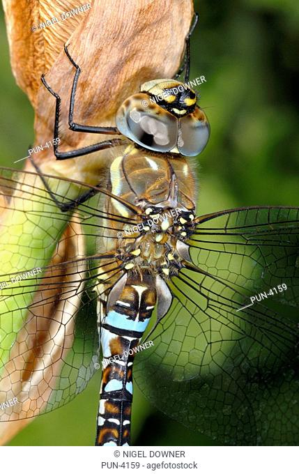 Migrant hawker dragonfly Aeshna mixta Male resting on plant in garden, early autumn