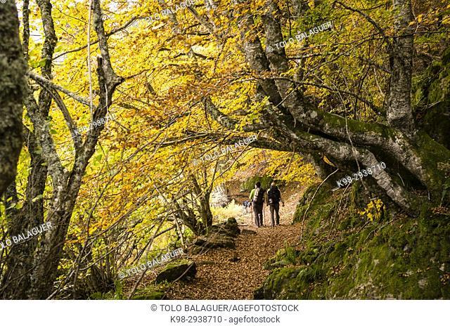 bosque de Carlac, - hayedo de Carlac-, Bausen, valle de Aran, Pyrenees Mountains, Spain
