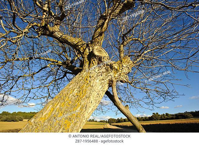 Walnut tree (Juglans regia). Almansa. Albacete. Spain