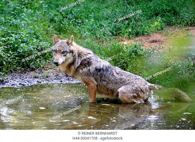 Canine, Canis lupus, endemic animal species, European wolf, protected animal species, grey wolf, grey wolf, doggy, Isegrimm, predator, predators, animal
