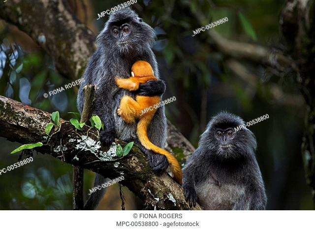 Silvered Leaf Monkey (Trachypithecus cristatus) female holding week old baby after it was handled roughly by another female, Bako National Park, Sarawak, Borneo
