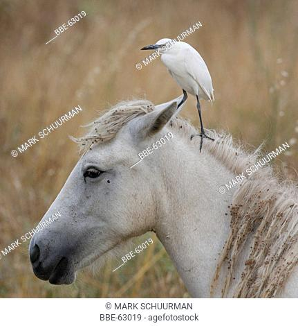 Young Cattle Egret on the head of a white horse in the Camargue