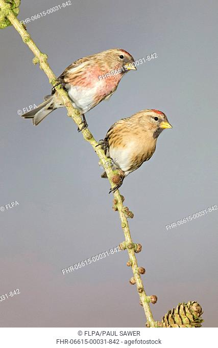 Lesser Redpoll (Carduelis cabaret) adult pair, perched on larch twig, Suffolk, England, February