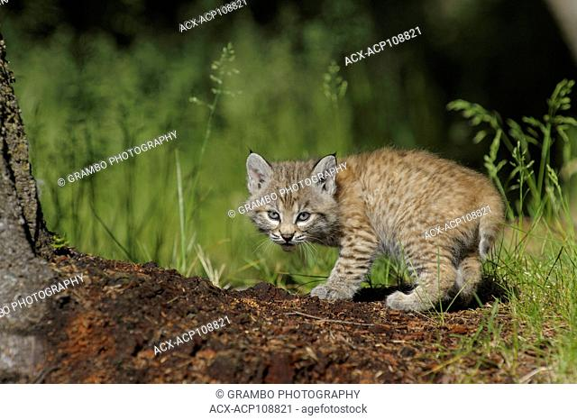 Bobcat kitten, Felis rufus, in forest clearing in spring, Montana, USA