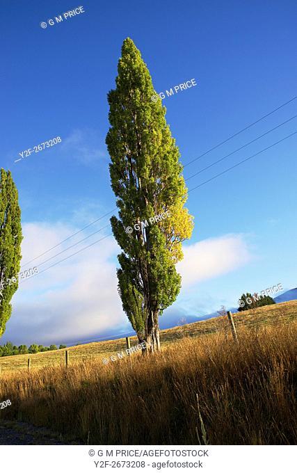 poplar tree in paddock near Queenstown, New Zealand