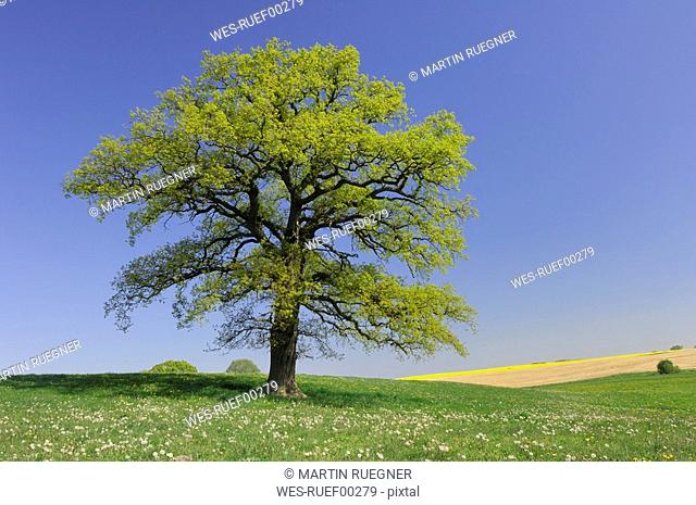 Germany, Mecklenburg-Western Pomerania, Oak tree Quercus spec. in meadow