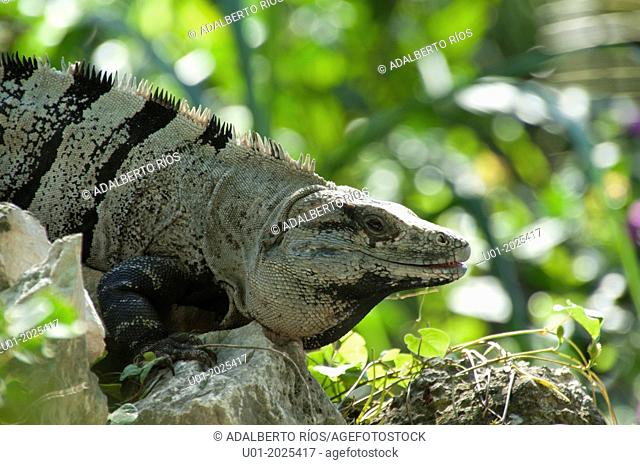 The iguana Ctenosaura Similis dwells on Mount prickly from southern Mexico to Panama sunning themselves on the stone buildings and archaeological areas