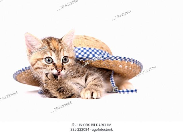 Europaeisch Kurzhaar. Kitten (6 weeks old) lying under a straw hat, chewing its front paw. Studio picture against a white background