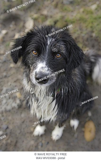 Black and white mixed breed dog sitting, Canada, Alberta