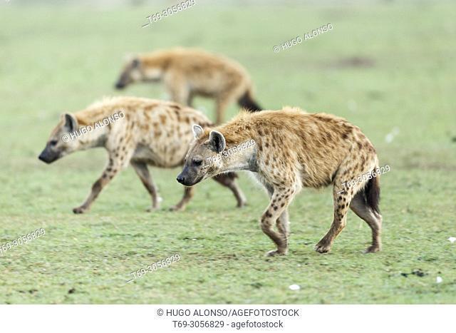 Group of Spotted hyenas. Crocuta crocuta. Kenia. Africa