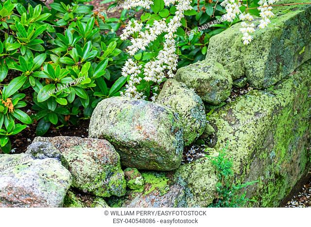 Green Mossy Old Stone Wall White Flowers New England Padnaram Dartmouth Massachusetts. Stone walls were built in the early 1600s and 1700s in New England torop...