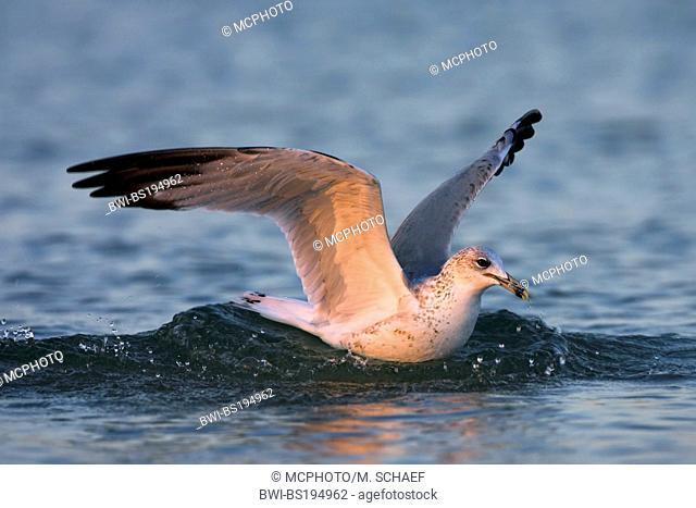 ring-billed gull (Larus delawarensis), lands on water, USA, Florida