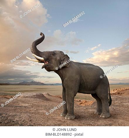 Bellowing elephant in the desert