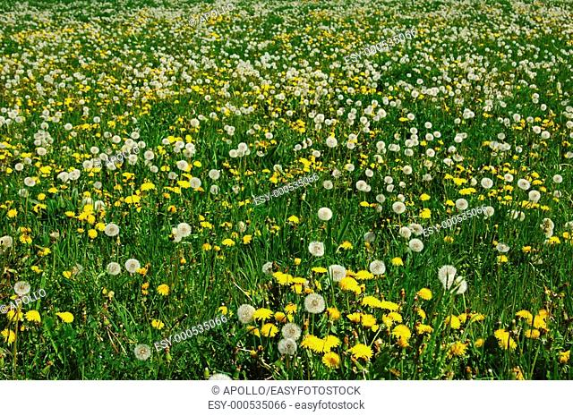 Spring meadow in May with Common Dandelion Taraxacum officinale