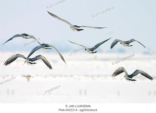 Geese flying over snowy landscape near the IJsselmeer, the Netherlands